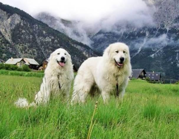 Большая пиренейская горная собака или пиренейская овчарка или пиренейский волкодав: описание породы и стоимость