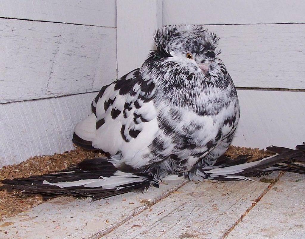 Кудрявые голуби frillback