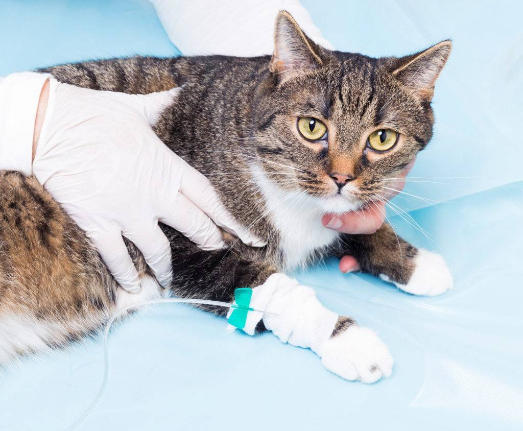 Гастрит у кошек: симптомы, лечение и как кормить животное при остром гастрите