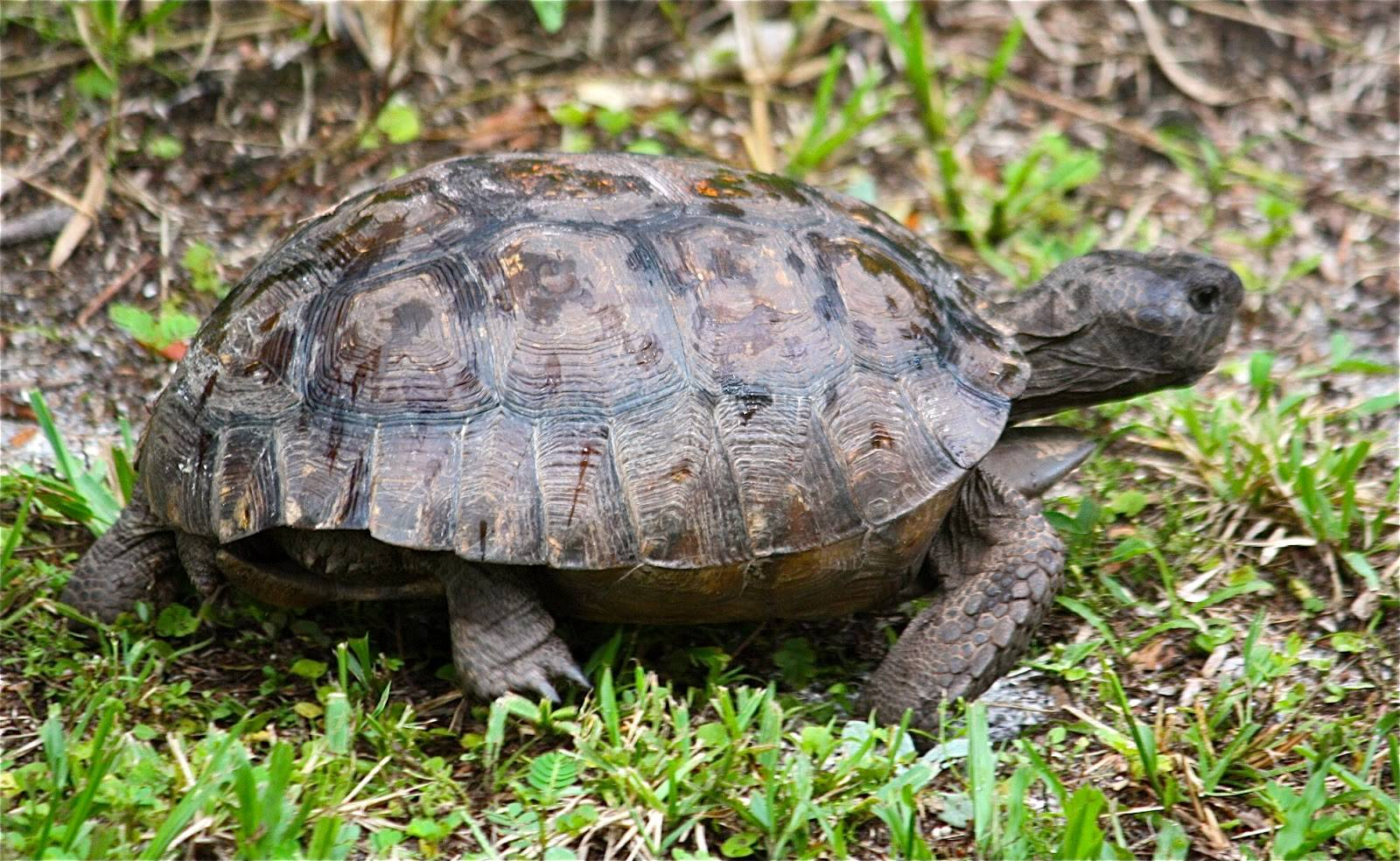 Сколько живут домашние сухопутные и красноухие черепахи