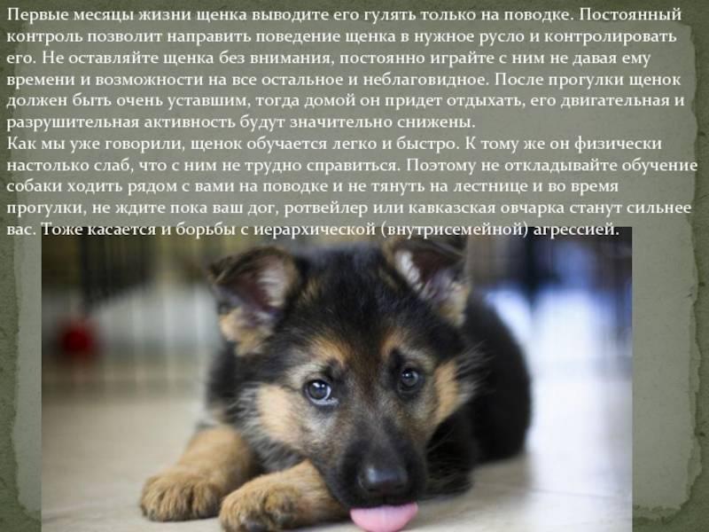 Как выбирать щенка алабая: плюсы и минусы породы, инструкция для покупателя, на что обратить внимание при покупке