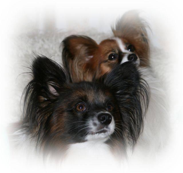 Папильон (фото): собака-бабочка с удивительным характером - kot-pes
