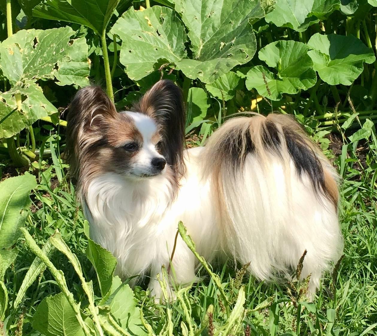 Все о французских континентальных папильонах: особенности собак бабочек