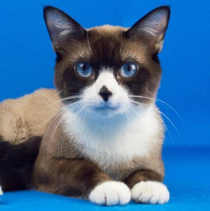 Сноу-шу кошка