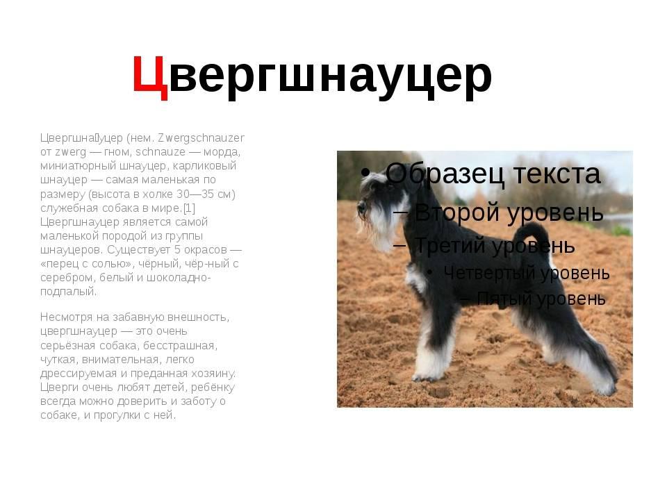 Собака цвергшнауцер: великолепный друг, надежный и верный храбрец
