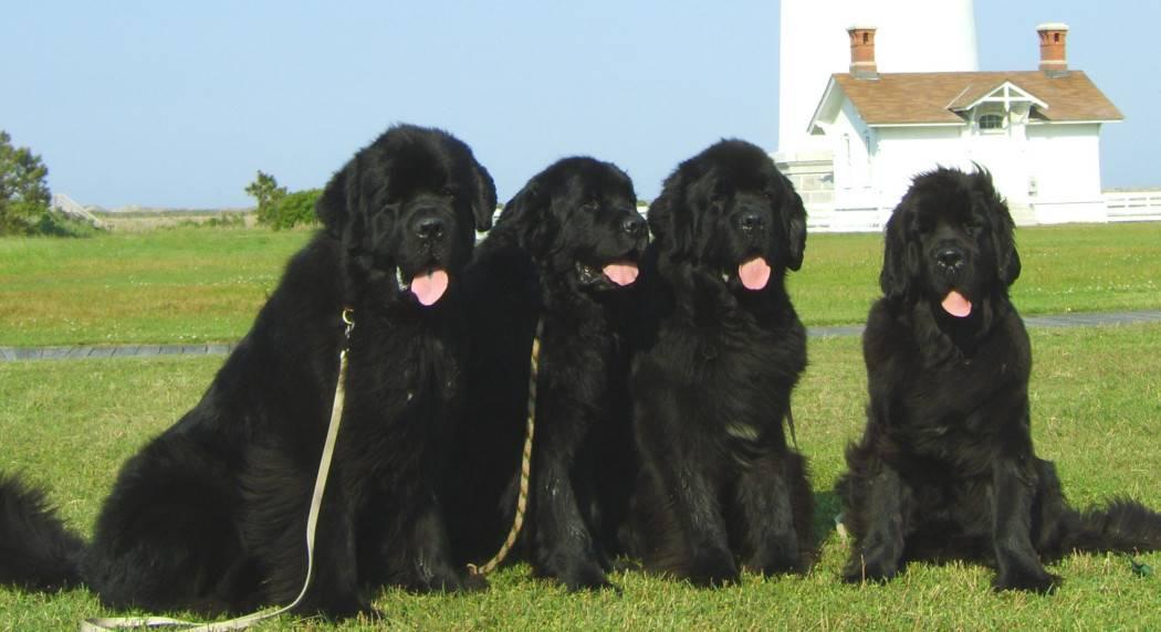 Ньюфаундленд: уникальность, особенности и характеристика этой породы собак