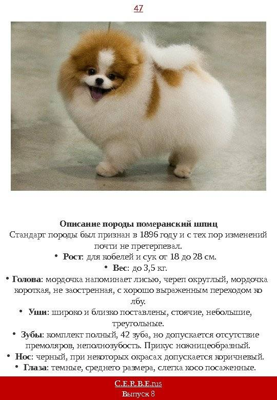 Порода собак немецкий шпиц: фото, видео, описание породы и её видов