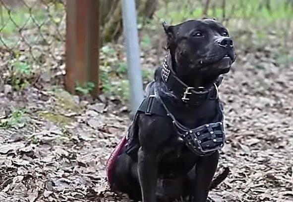 Самые опасные собаки в мире: топ-25 опасных пород собак