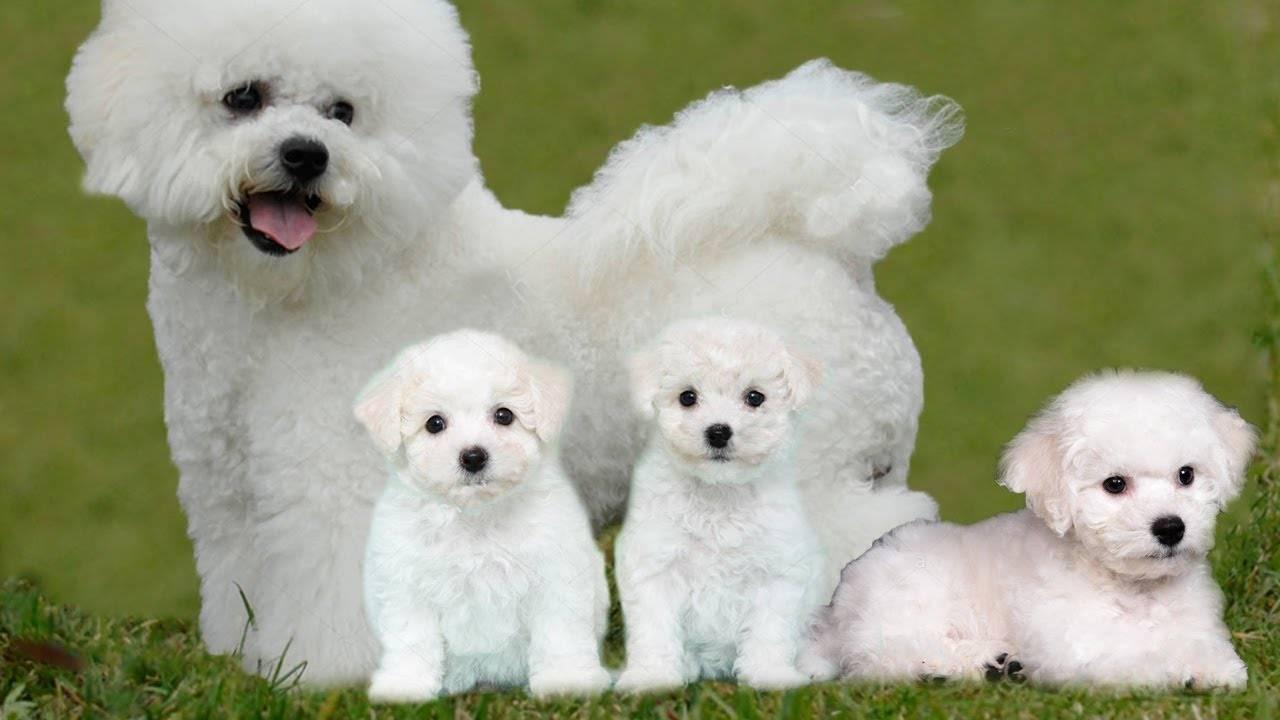 Бишон фризе описание породы: плюсы и минусы характера собачки