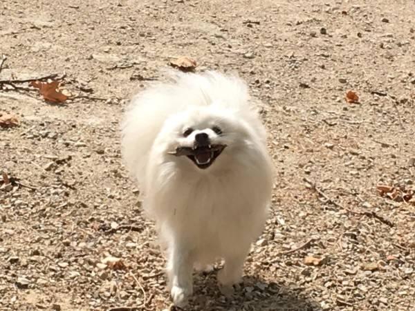 Померанский шпиц – плюшевая собачка с непростым характером