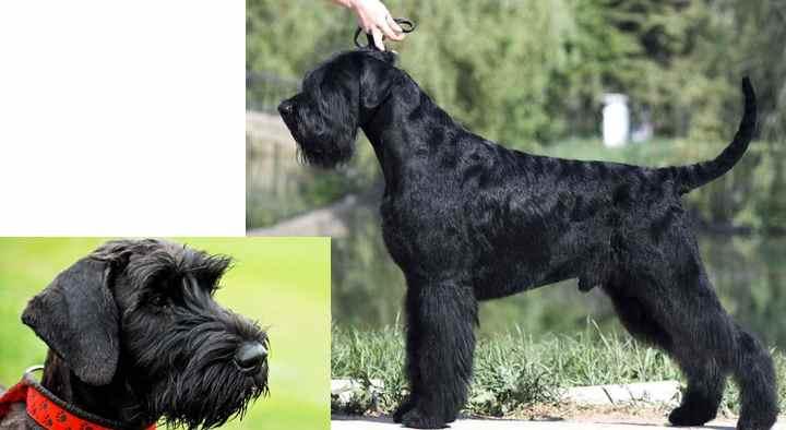 Собака ризеншнауцер: характеристика и описание породы