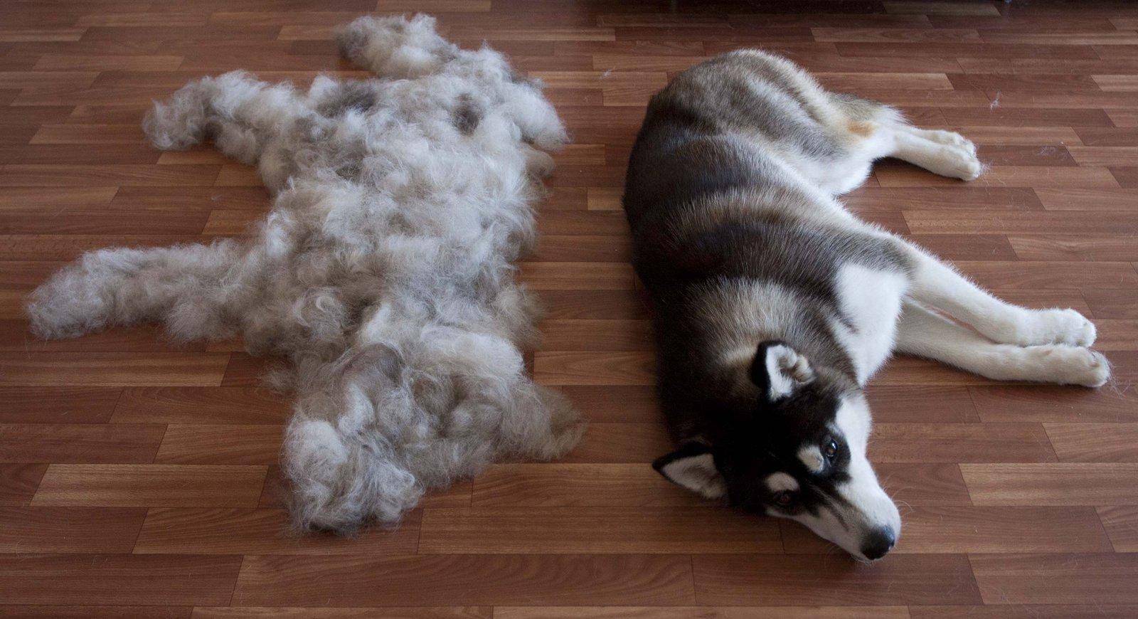 Линька у собак - периоды линьки и как распознать заболевания