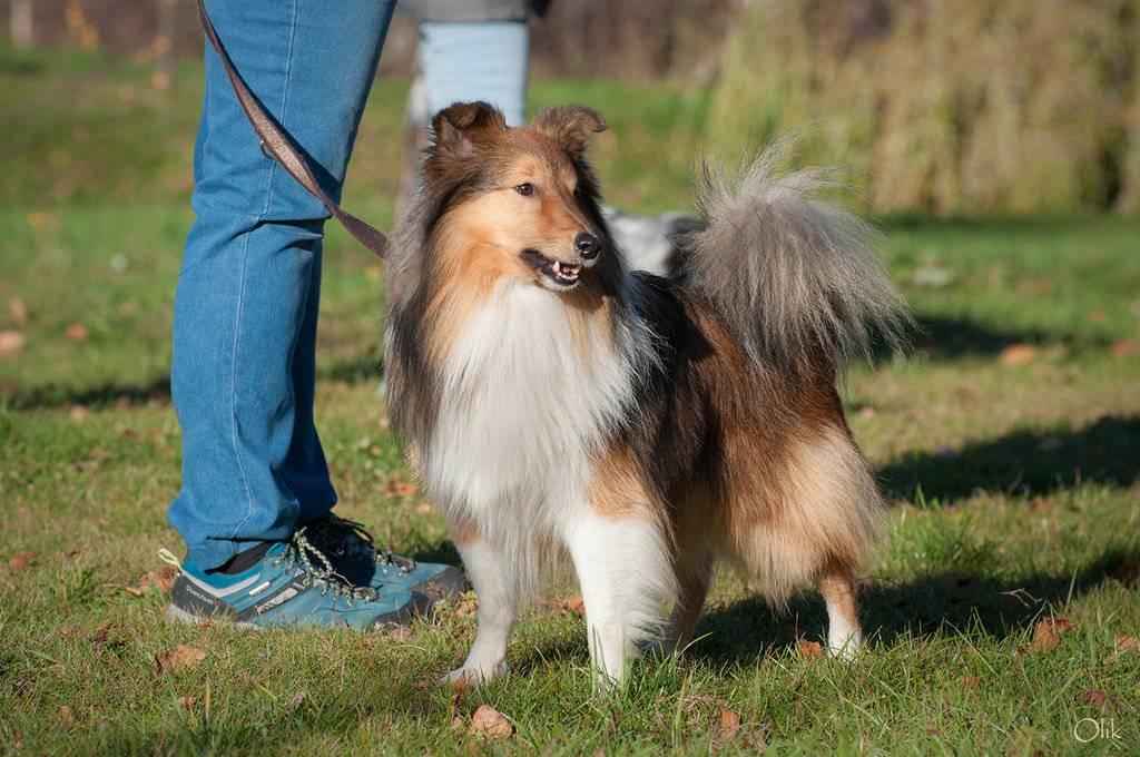 Подробное описание собак шелти: внешность и характер породы, отличия от колли