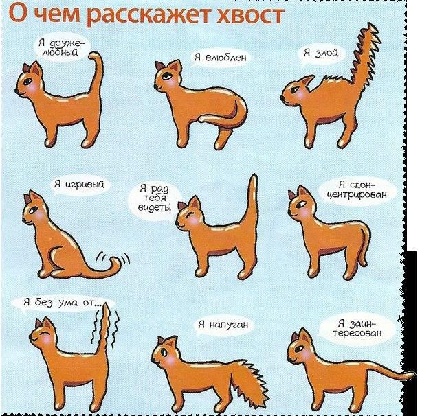 Хвост у кошки и кота: зачем нужен и каковы его анатомические особенности у разных пород, основные функции, фото