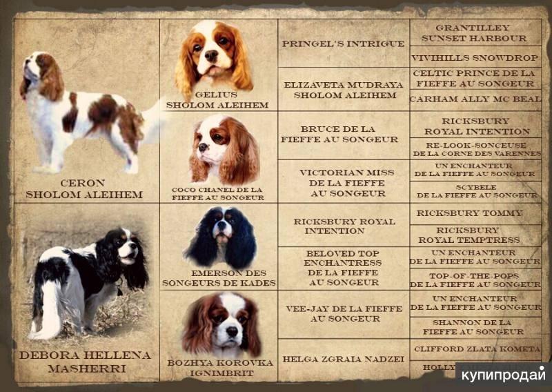 Спаниель: виды породы, какие бывают разновидности