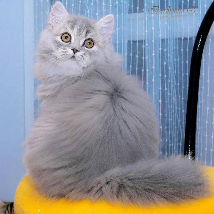 Топ-8 пород рыжих кошек и котов