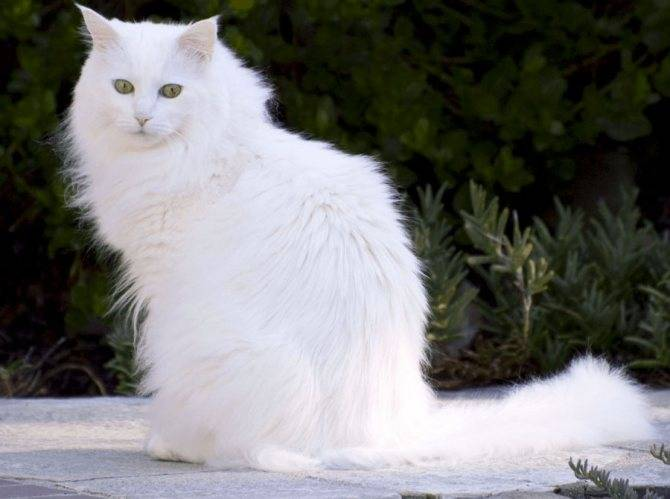 Подробное описание породы кошки турецкая ангора