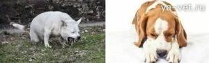 Собаку стошнило желтым. что делать когда собаку рвет после еды непереваренной пищей