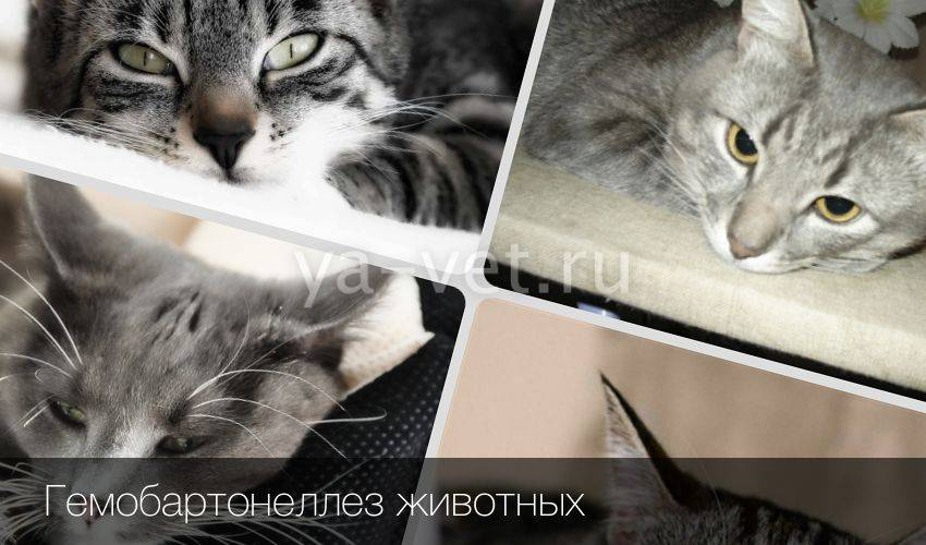 Гемобартенеллез у кошек симптомы и лечение - oozoo.ru