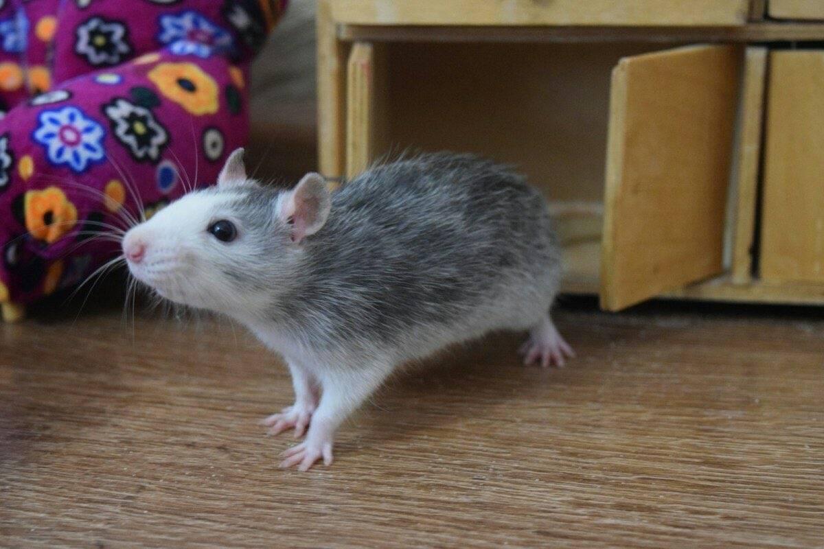 Чем кормить и как ухаживать за декоративной крысой дамбо