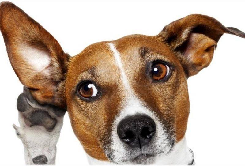 Почему моя собака опускает свои уши, когда мы гладим ее?
