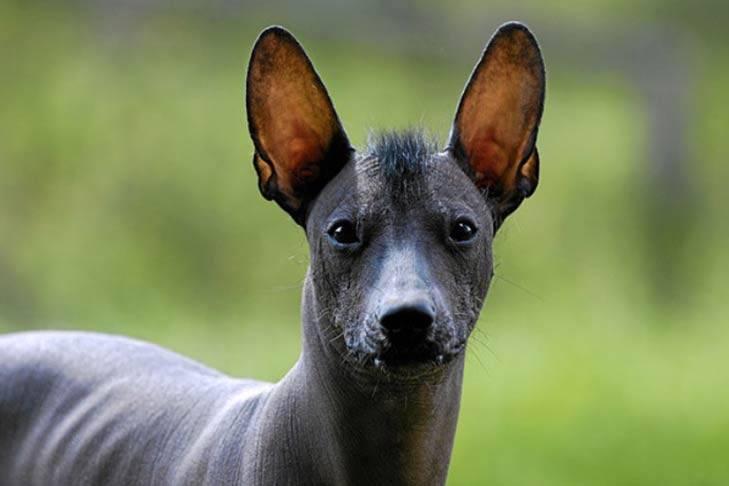 Мексиканская голая собака (ксолоитцкуинтле) — описание породы (с фото)   все о собаках