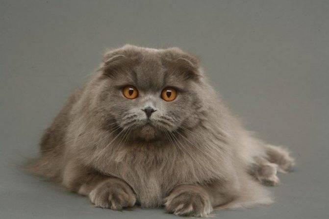 Хайленд-фолд: шотландская вислоухая длинношерстная кошка, фото