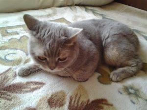 Симптомы и лечение инсульта у кошек