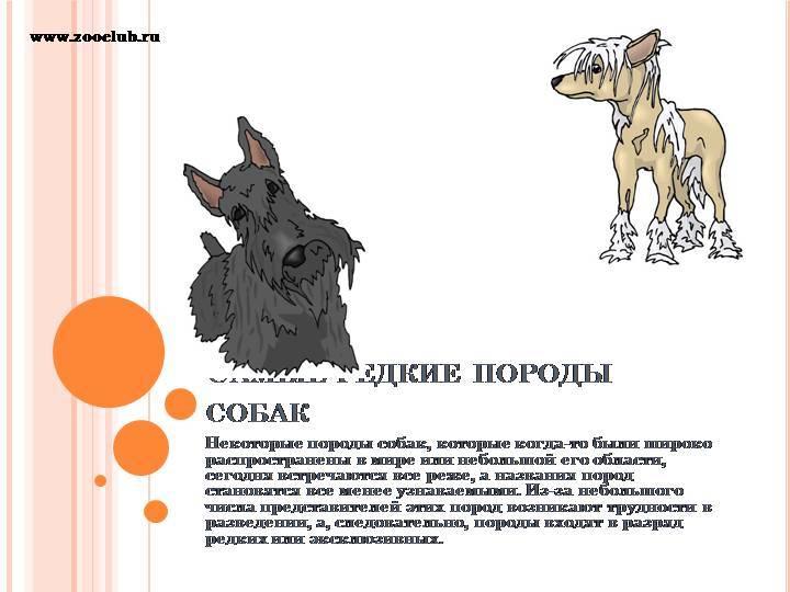 Особенности московских дракончиков: внешность и характер породы собак