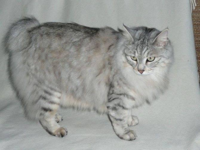 Черепаховые кошки: все об обладателях пестрого окраса