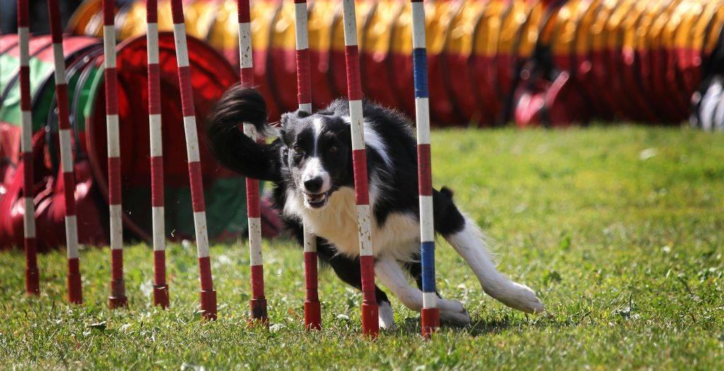 Аджилити для собак: игра, за которую положен приз - kot-pes