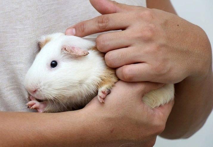 Морские свинки — всё что нужно знать про морскую свинку