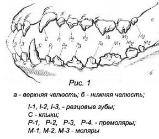 Зубы собаки: формула, схема, строение челюсти