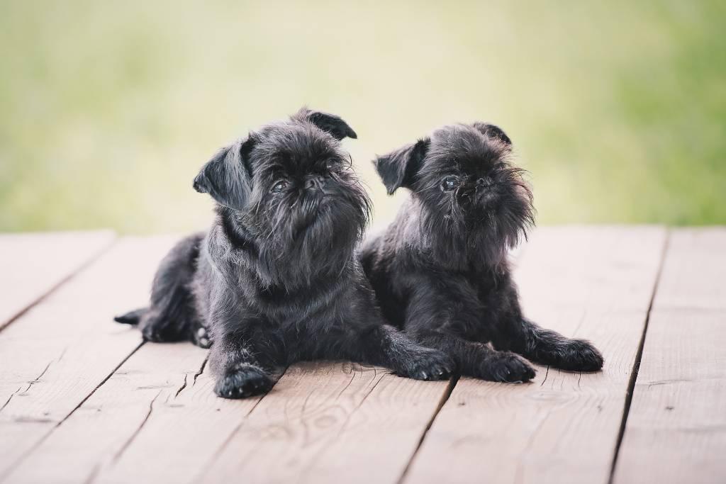 Брюссельский гриффон: описание породы и стоимость щенков
