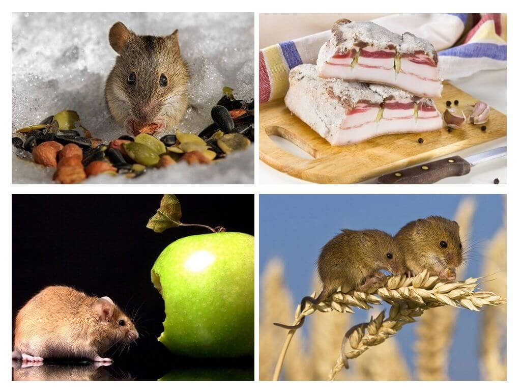 Питания мыши в разной среде обитания, а также есть : жизнь и размножение, как любят питаться