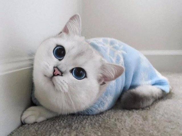 Коби – новая порода кошек или продукт пиара