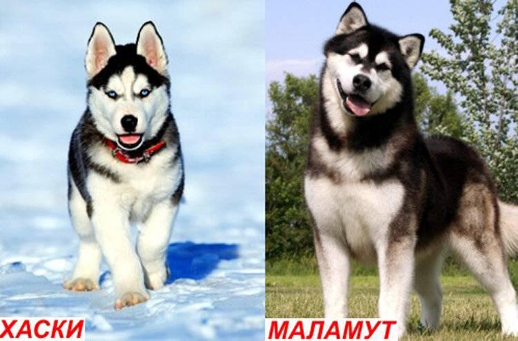 Сравнение хаски и лайки: чем отличаются породы, что у этих собак имеется общего и кого из них лучше завести