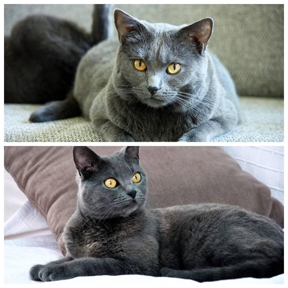 Картезианская кошка: описание породы шартрез, внешние признаки, особенности характера
