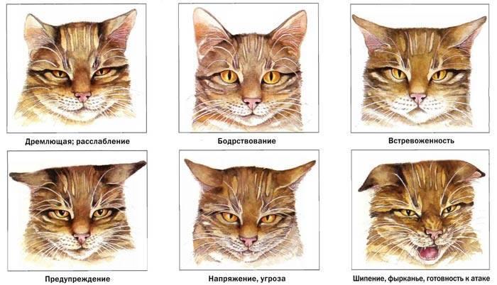 Сиамская кошка ? фото, описание, характер, факты, плюсы, минусы кошки ✔