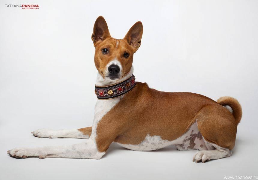 Басенджи или африканская нелающая собака — талисман египтян от заклятий и недругов