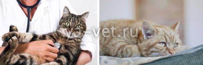 Эпилепсия у кошек: описание болезни, симптомы и лечение