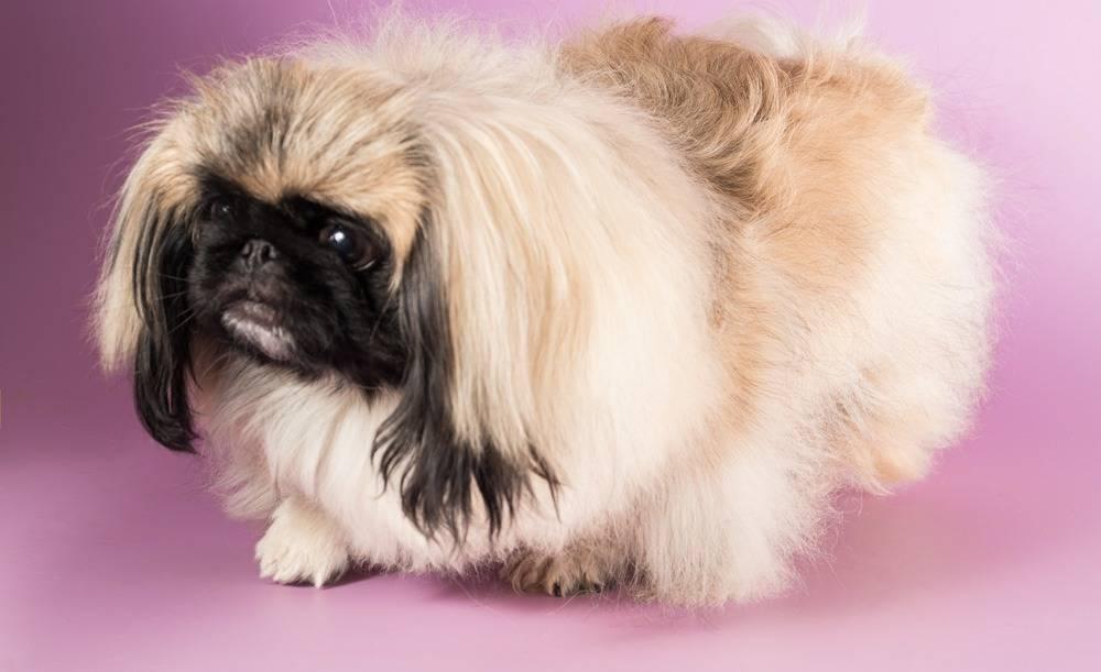 Собака пекинес: описание и характер, особенности ухода и содержания, разведение и отзывы