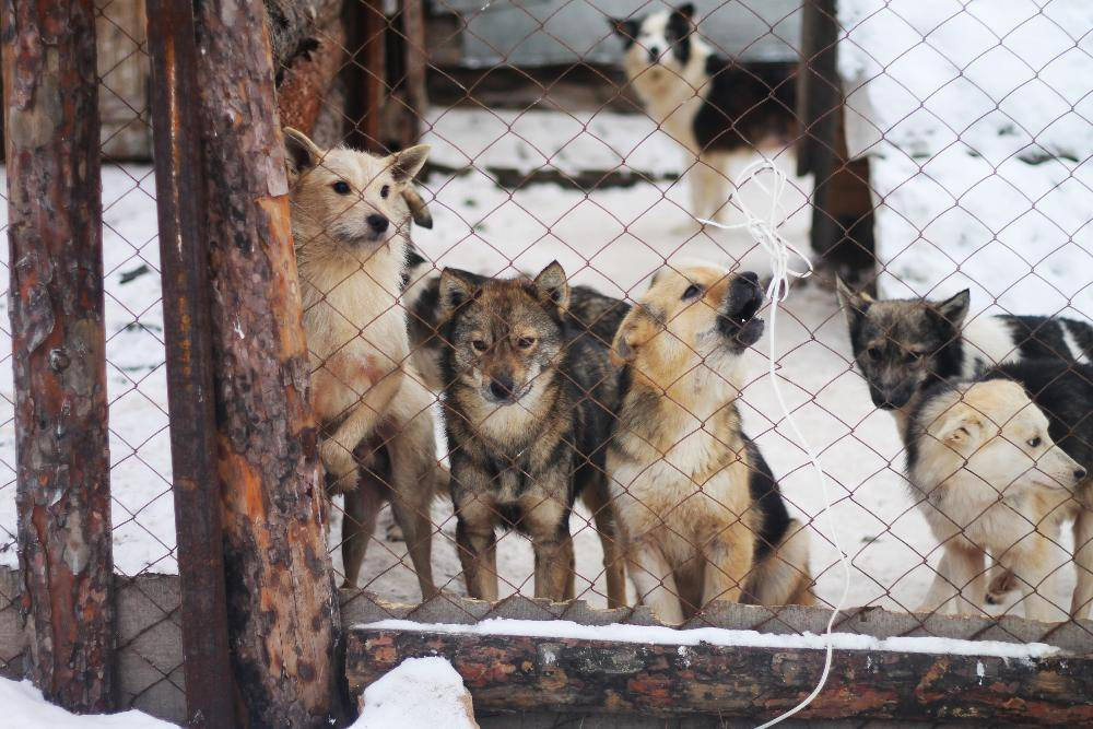 Хоть убейте, но заберите! бездомные собаки не дают пройти: кто виноват? | общество | аиф владивосток