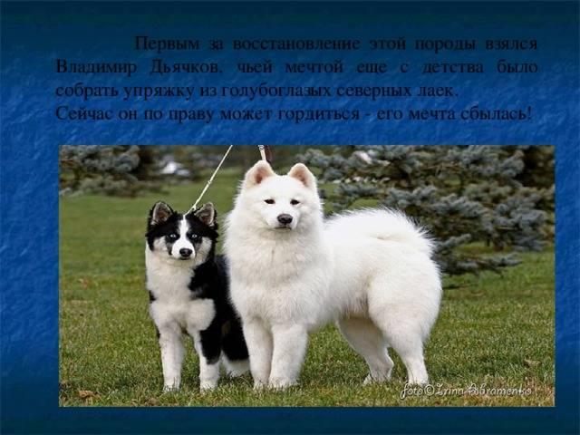 Виды лаек: названия, описание с фото, характеры собак и правила ухода