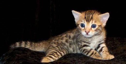 Кошка серенгети – хищник с ласковым характером