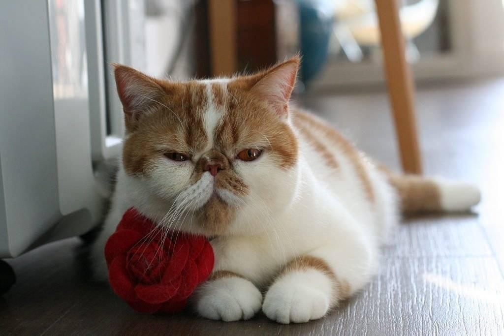 Экзотическая короткошерстная кошка: все о породе