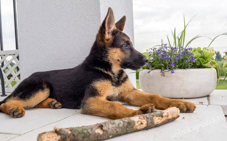 Каким кормом кормить щенка немецкой овчарки: лучше - сухим или натуралкой, как правильно, какой рацион нужен в 1, 2, 3 месяца, до и после года, каковы нормы питания?