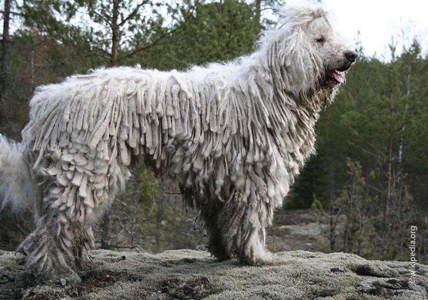 Южнорусская овчарка. описание русской породы