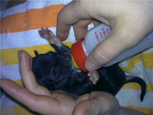 Корм для кормящих собак: чем кормить беременную, ощенившуюся и после родов чтобы было больше молока
