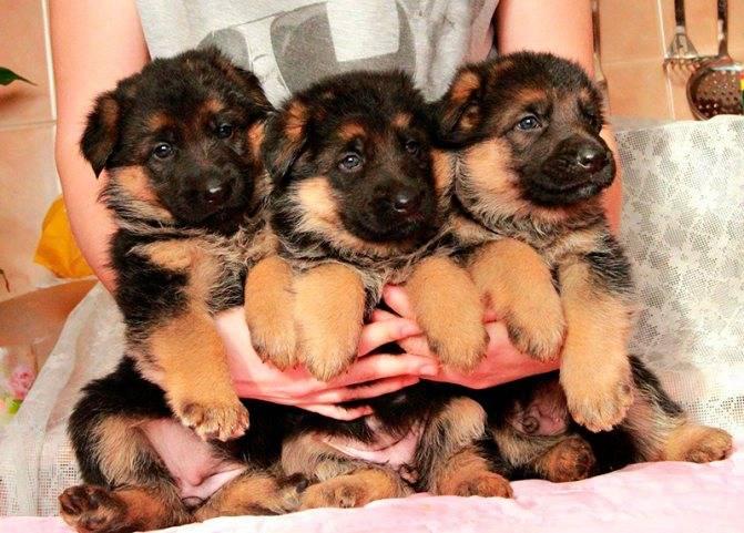 Клички для немецких овчарок мальчиков и девочек, особенности выбора имен для своих собак